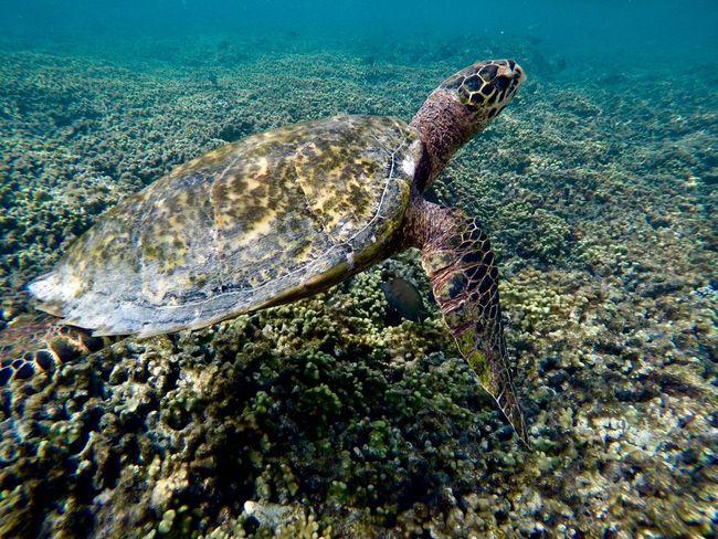 #turtle EyeEm Selects Animal Wildlife Animals In The Wild Underwater Sea Water Animal Animal Themes UnderSea Sea Life Marine Nature One Animal Swimming Reptile Coral No People