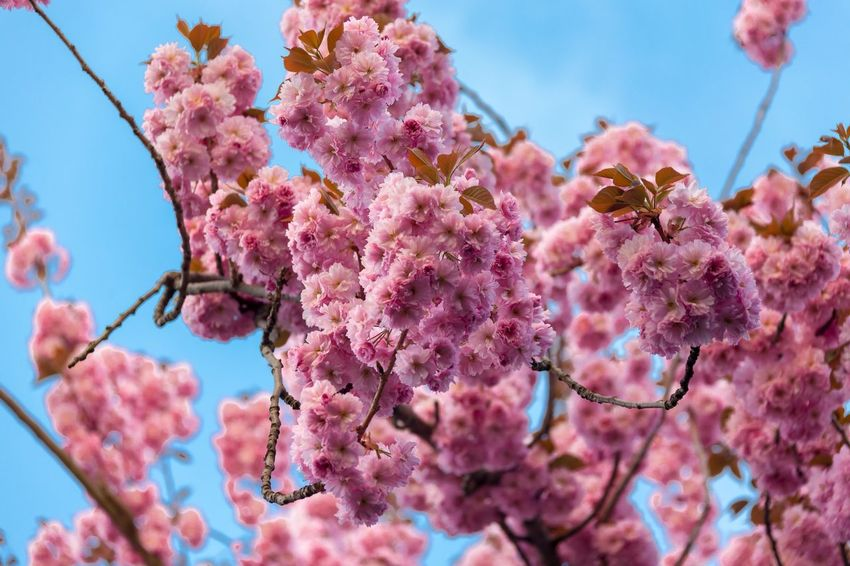 EyeEm Selects Flower Flowering Plant Pink Color Plant Growth Freshness Beauty In Nature Focus On Foreground Cherry Blossom Springtime Nature Day Close-up