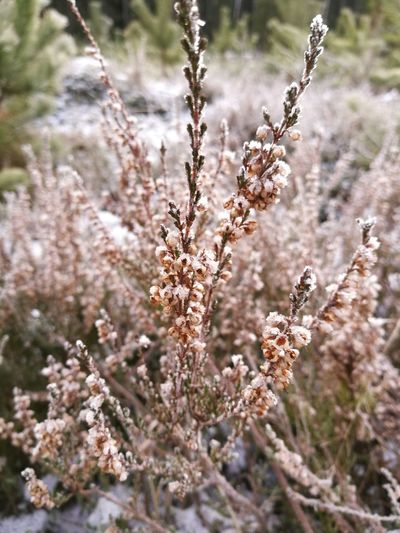 Heather Frost Nature Plant Outdoors Day Flower Selective Focus Springtime No People Field Winter Beauty In Nature Close-up Cold Temperature Freshness Flower Head Shades Of Winter