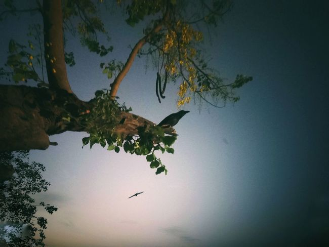 crow on tree Ourdoors Tree In Evening Crow Trees And Sky Tree Branch Water Bird Sky Tropical Tree Tropical Climate