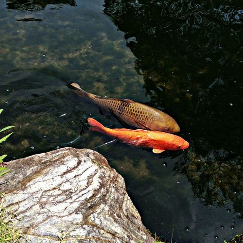 Japanese Garden Fishes The Purist (no Edit, No Filter) Water_collection 日本庭園の鯉。 Carp of the Japanese garden.