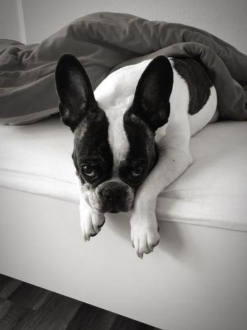 Laux Dogge IPhoneography IPhone SE IPhone Französische Bulldogge  French Bulldog Frenchbulldog Fauler Hund Lazy Dogs Lazy Dog Lazy Day Lazy Hund Im Bett Dog In Bed Domestic Animals One Animal Mammal Animal Themes