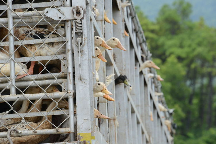 Low angle view of geese in cage