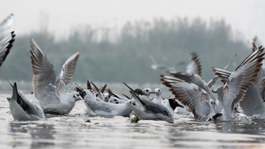 Seagulls having their food on the river surface