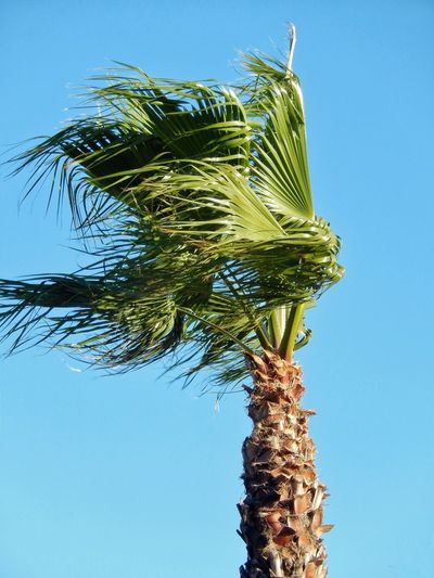 Low Angle View Growth Tree Blue Nature Clear Sky Palm Tree Green Color Leaf Sky Branch Palm Tree Palm Leaf Palm Wind Swept Wind Swept Palm Tree Palm Tree In The Wind Windy Windy Day Palm Trees Palm Frond Palm Fronds In The Wind Palm Fronds Palm Tree And Blue Sky Palm Tree And Sky