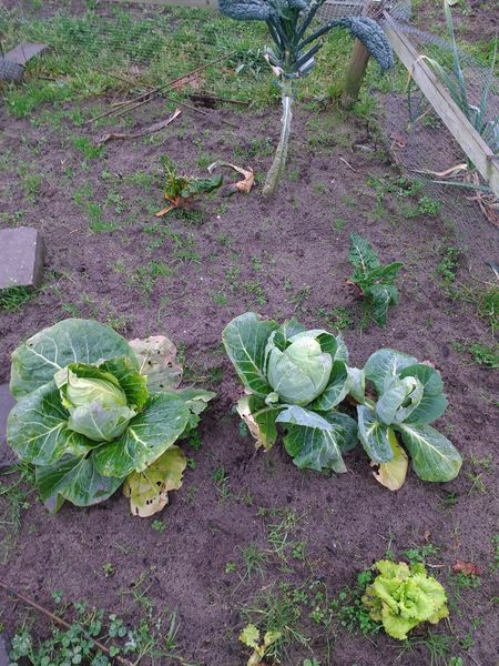 A part of my vegetable garden in wintertime. It needs a bit of attention butthe plants (and weed) are still growing Fragility Outdoors Plant Vegetable Vegetable Garden Vegetable Garden In The Wintertime Vegetable Gardening Vegetables