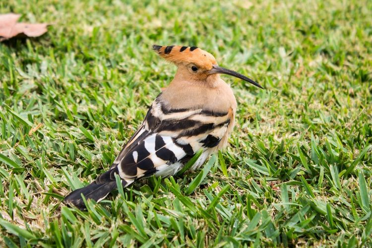 Animales Canary Islands Gran Canaria Islas Canarias Pajaro Tiere Vogel Abubilla Animal Themes Animal Wildlife Animals Animals In The Wild Bird Day Grass Green Color High Angle View Hoopoe Kanarische Inseln Mammal Nature One Animal Outdoors Wiedehopf