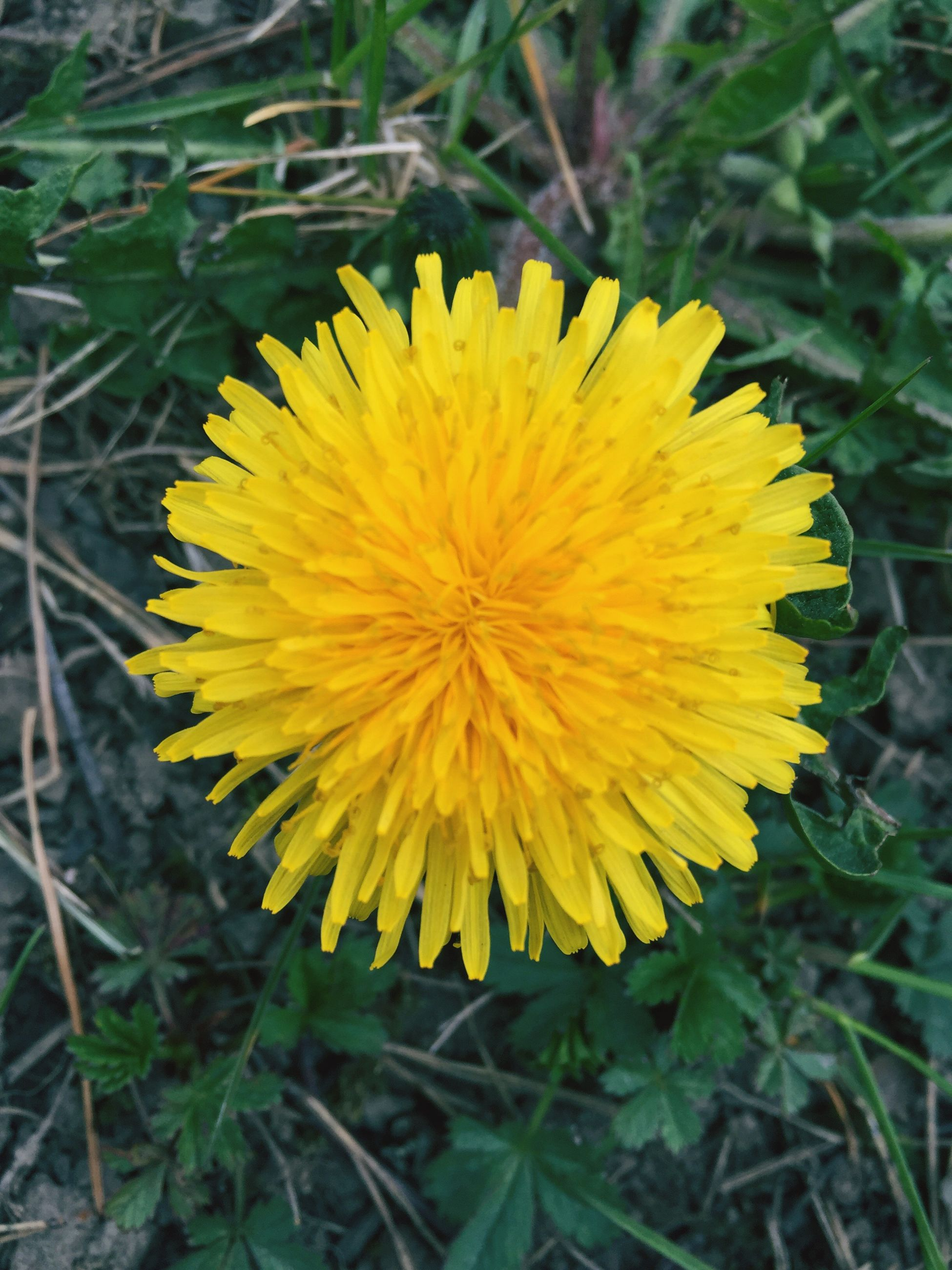 flower, yellow, fragility, nature, freshness, beauty in nature, flower head, petal, plant, growth, close-up, botany, outdoors, day, no people, field, focus on foreground, springtime, blooming