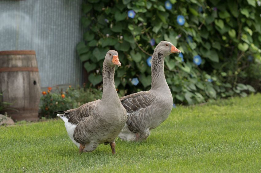 Farm Animals Geese Grass Domestic Animals Goose And Gander Outside Summer Two Animals