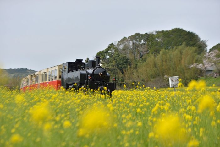 Field Mustard Rapeblossom Train Railway Flowers Yellow Flower Spring Springtime Landscape Nature Showcase April Hello World From My Point Of View Walking Around EyeEm Best Shots - Nature EyeEm Best Edits EyeEm Best Shots EyeEm Nature Lover Eye4photography  Taking Photos Nikon Nikon70-200mmf2.8 in Chiba , Japan いすみ鉄道