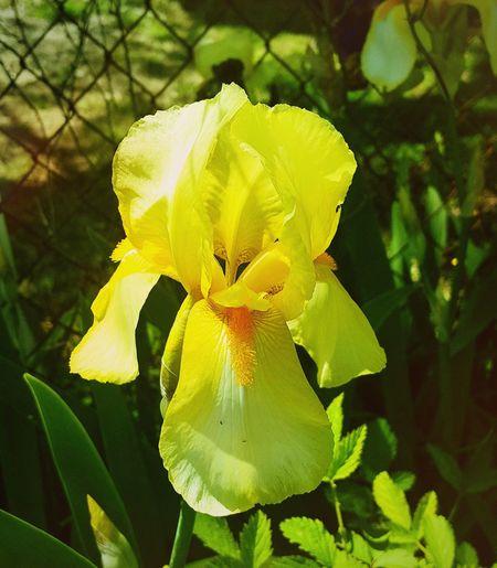 Spring Iris Flower Leaf Petal Plant Blooming Green Color