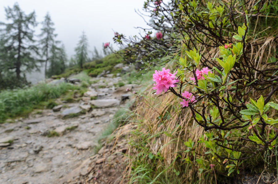 Alpine Rose Alpine Rose Beauty In Nature Close-up Day Flower Flower Head Focus On Foreground Fragility Freshness Growth Nature No People Outdoors Petal Pink Color Plant Tranquility Tree Water