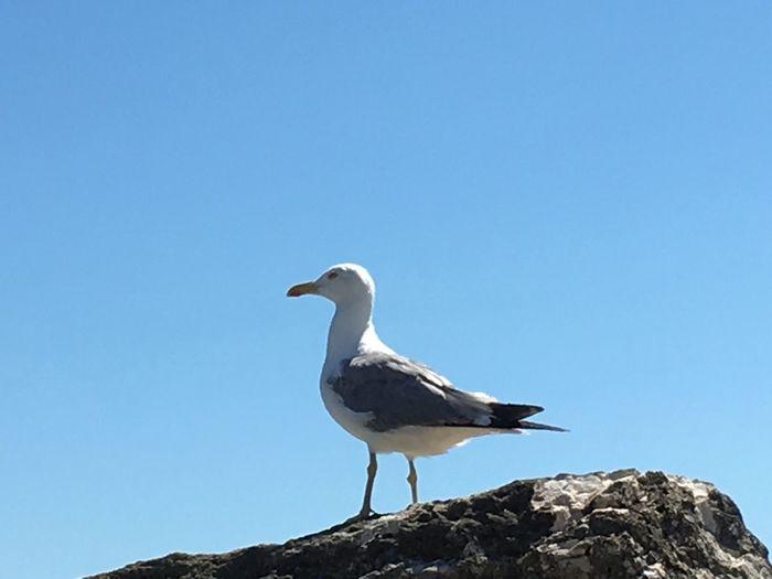 Gabbiano del mare Adriatico Animals In The Wild Bird Clear Sky