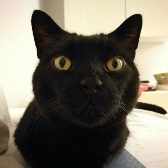 Matisse One Animal Pets Indoors  Domestic Animals Animal Themes Domestic Cat Close-up Whisker Cat Mammal Feline Black Color Home Interior Looking At Camera Focus On Foreground Animal Head  Resting Animal Eye Animal Nose No People
