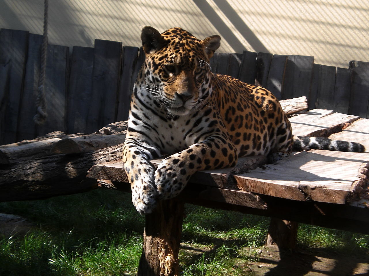 Leopard Relaxing On Wood In Cage At Zoo