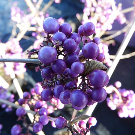 Photography Berries On Branch Growth Purple Focus On Foreground Close-up