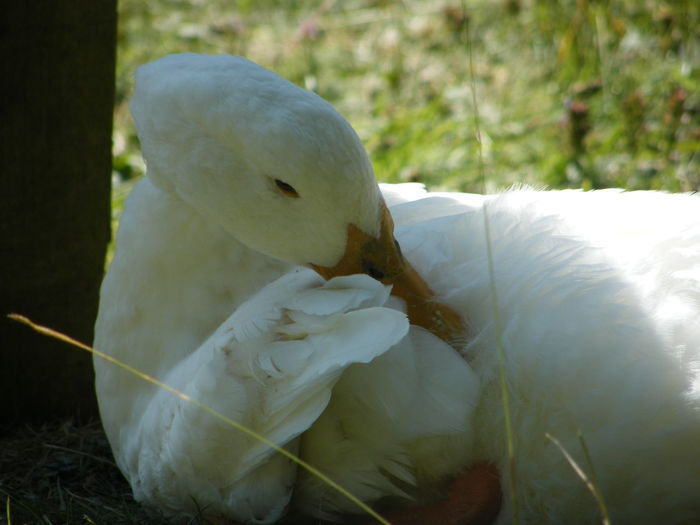 A very sensible duck finds a shady spot on a very sunny day! A Shady Spot Animal Animal Themes Animal Wildlife Animals In The Wild Bird Clever Duck Day Grass Nature No People One Animal Outdoors Plant Sitting In The Shade Sunny Day Vertebrate White Color White Duck