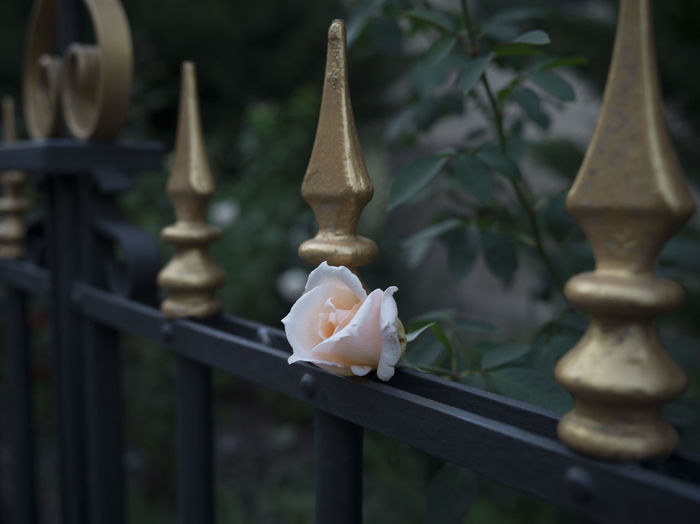 British Gate Pink Romance Romantic English English Rose Fence Flower Golden Fence Metal Peach Rose Pink Flower Rose - Flower Rose🌹 Royal Single Rose