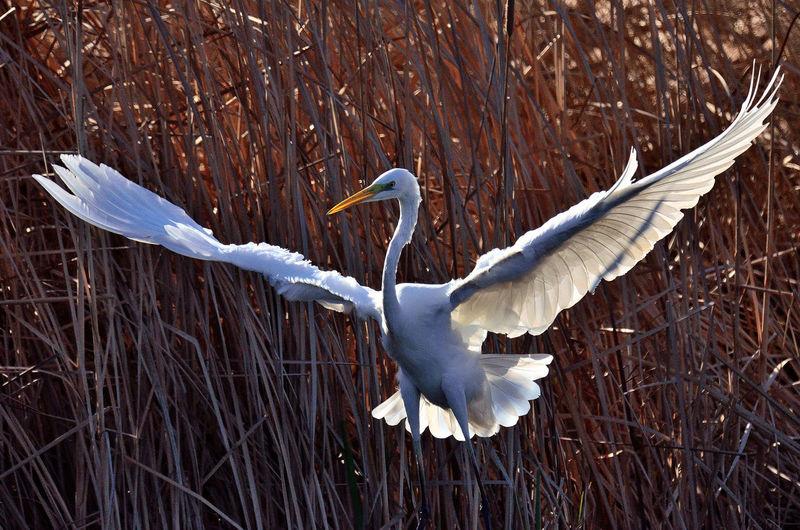 White heron flying