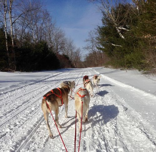 Sleddogs in action Animal Themes Beauty In Nature Cold Temperature Day Dog Domestic Animals Landscape Mammal Mushing Nature Outdoors Sky Sled Dog Snow Tree Winter