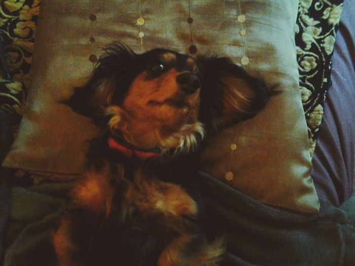 My name is Suzy Miss Dachshund taking life easy! Hanging Out Relaxing That's Me Enjoying Life Hello World Hi!