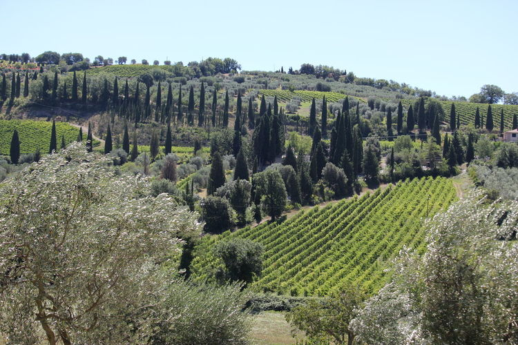 Paesaggio Toscana vicino a Montalcino Paesaggio Toscano ; Toscana ITALY Agriculture Beauty In Nature Day Environment Farm Field Green Color Growth Idyllic Land Landscape Nature No People Outdoors Plant Plantation Rural Scene Scenics - Nature Sky Tranquil Scene Tranquility Tree Winemaking