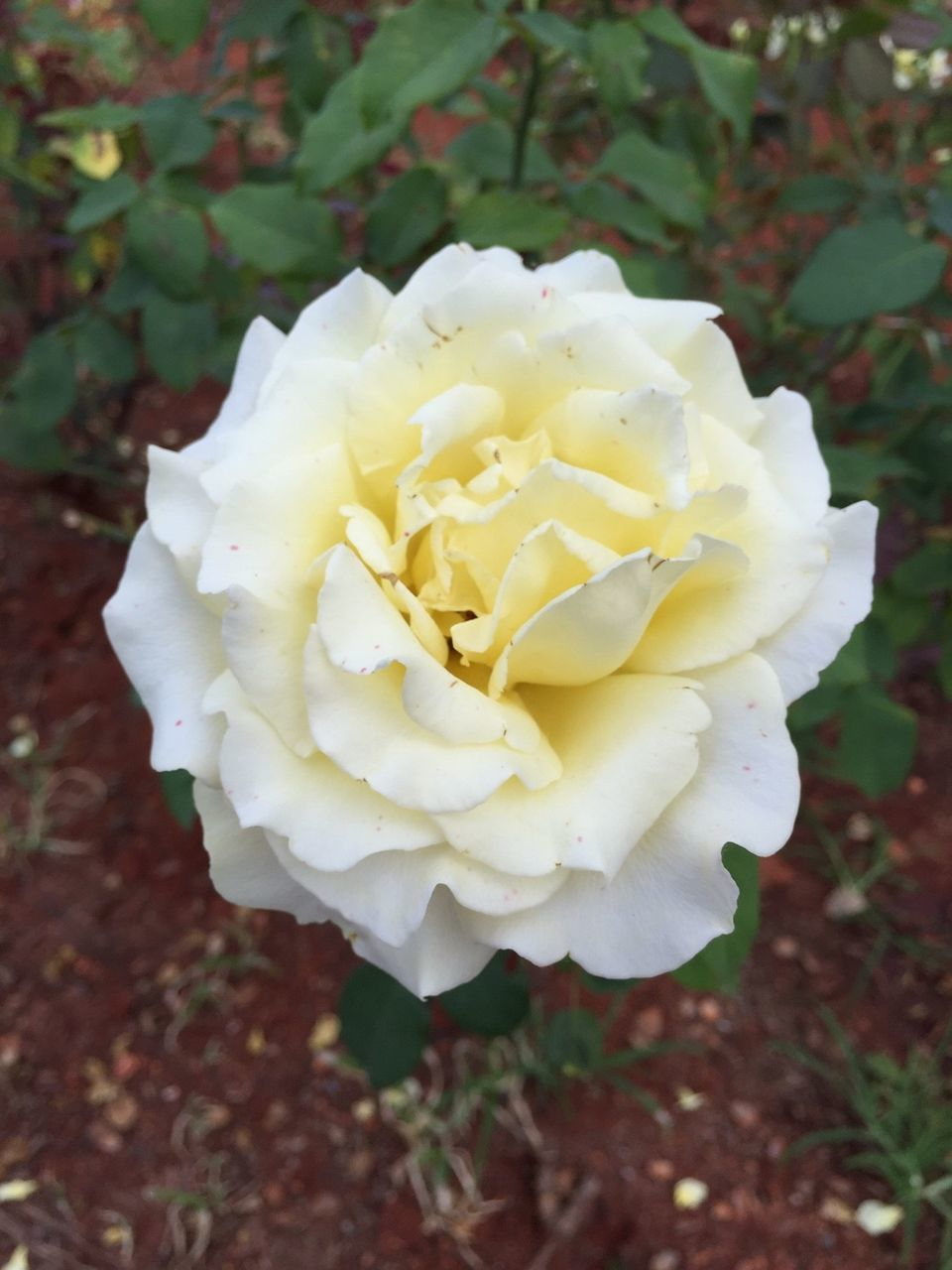flower, petal, nature, white color, fragility, rose - flower, flower head, no people, beauty in nature, freshness, close-up, day, growth, outdoors, plant, blooming