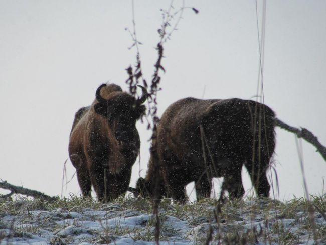 The reserf of aurochs, Altay region Animal Themes Animals In The Wild Aurochs Beauty In Nature Day Field Grass Nature No People Outdoors Park Reserve Sky Snow