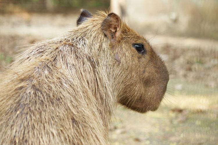 Close-up of capybara