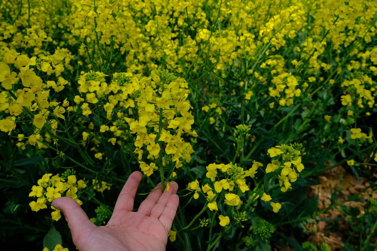 Cropped image of hand against yellow flowering plants