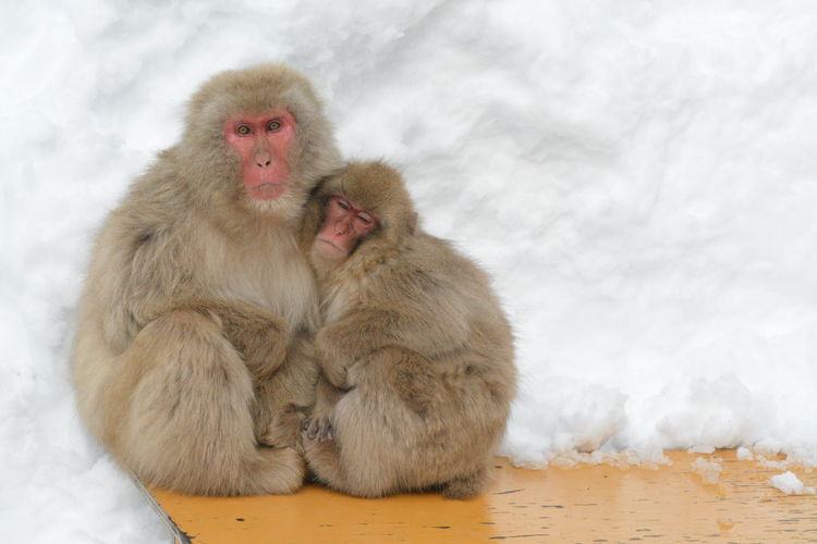 Animal Themes Animals In The Wild Cold Temperature Day Japanese Macaque Mammal Monkey Nature No People Outdoors Portrait Snow Togetherness Winter