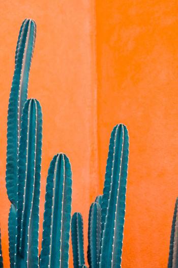 Close-up of succulent plant against orange wall