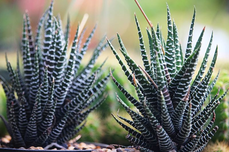 Prickly Pear Cactus Cactus Spiked Thorn Uncultivated Close-up Plant Botanical Garden Spider Web Bud Barrel Cactus Aloe Vera Plant Flowering Plant Succulent Plant Arachnid Saguaro Cactus Jumping Spider Chachoengsao Needle - Plant Part Botany Arthropod Tucson Sepal New Life Prey Web Spider Aloe Sharp