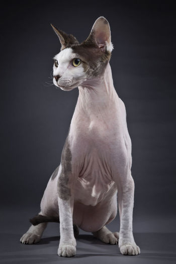 Close-Up Of Sphynx Against Gray Background