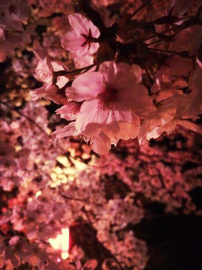 さくら Sakura Hometown 夜桜花見。