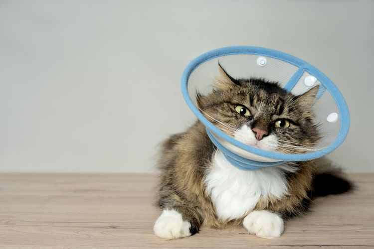 Maine coon cat with a pet cone looking funny to the camera.
