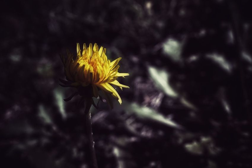 Capture The Moment Darkness And Light Shine Bright Fragility Flower Petal Dandelion Beauty In Nature Yellow Nature Macro_flower Uzuki Of The Flower Depth Of Field Macro Fine Art Springtime Tranquil Scene Light And Shadow Full Frame Detail Oldlens Pancolar SONY A7ii EyeEm Best Shots 17_04 Break The Mold TCPM Art Is Everywhere EyeEmNewHere