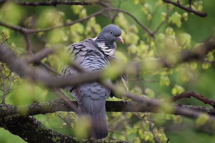 """Wood Pigeon"""