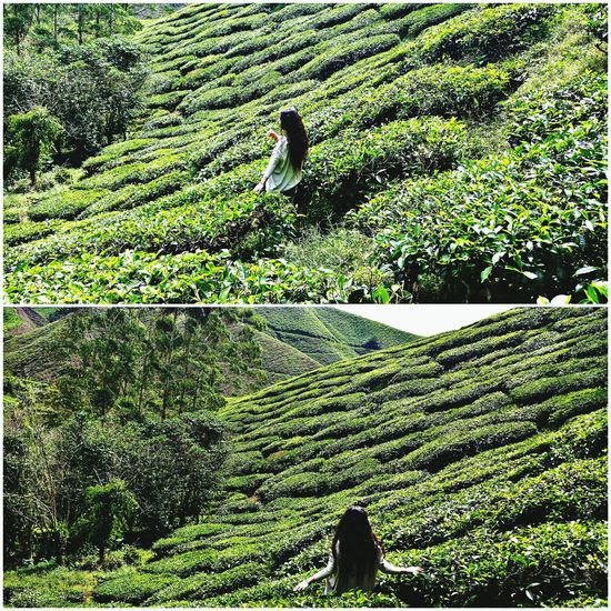 Boh Tea Plantation