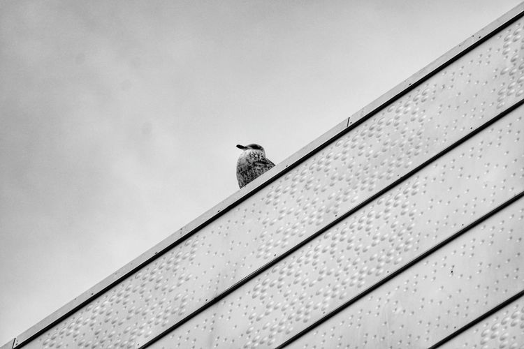 A seagull on the roof. Symmetrical Symmetry Sky Bird Sony Alpha 6300 Sonya6300 Straight Lines Diagonal Oslo Opera House Seagull Minimalist Architecture Black And White Photography B&w Standing Tall Standing Alone Up To The Sky