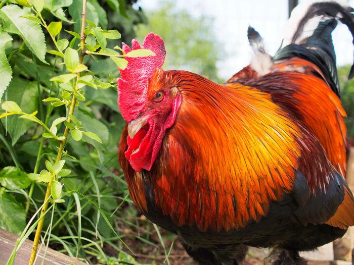 Bird Cockerel