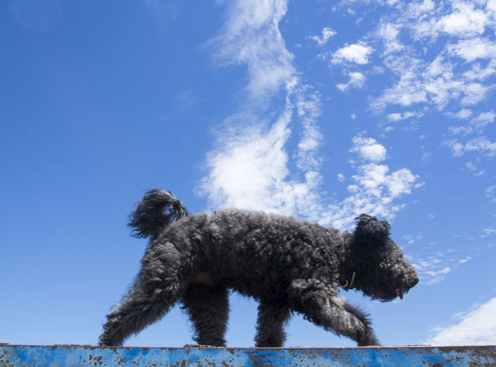 Animal Themes Black And Blue Blue Cloud - Sky Clouds Clouds And Sky Day Dog Dogdaysofsummer Domestic Animals Fur Low Angle View Mammal Nature No People One Animal Outdoors Pets Pumi Sky Summer Sky  Summertime Walk Water