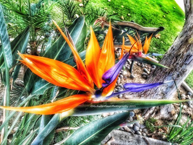 Birdofparadise Birdofparadise Flower Flowers Flower Iphonephotography Photography Nature Photography Mobile Photography Photographyisawesome PhotographyIsMyPassion Amatuerphotography AmatuerPhotographer