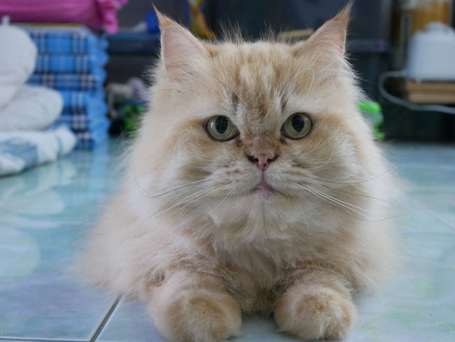 Kitten Looking At Camera Animal Cute Domestic Cat Purebred Cat Whisker Young Animal