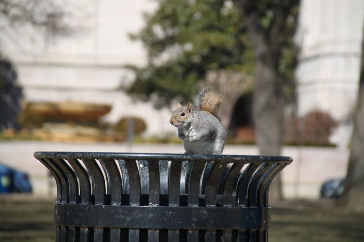 Squirrel on garbage can