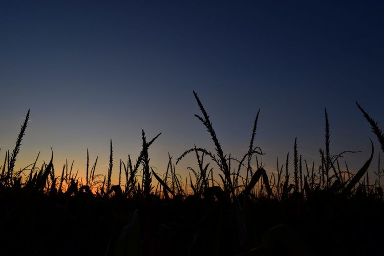 Silhouette plants on field against clear sky at sunset