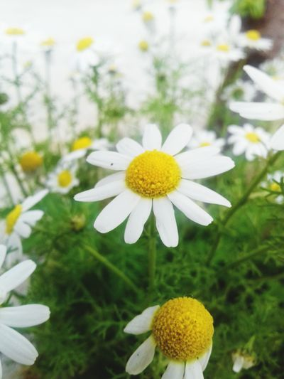 Flower Head Flower Yellow Petal Summer Springtime Close-up Plant