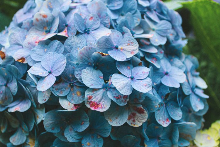 Close-up of purple hydrangea flowers