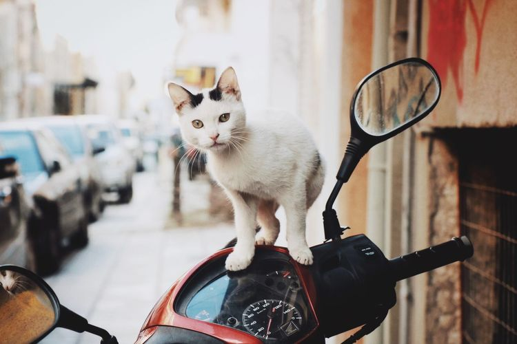 Portrait of cat on motor scooter