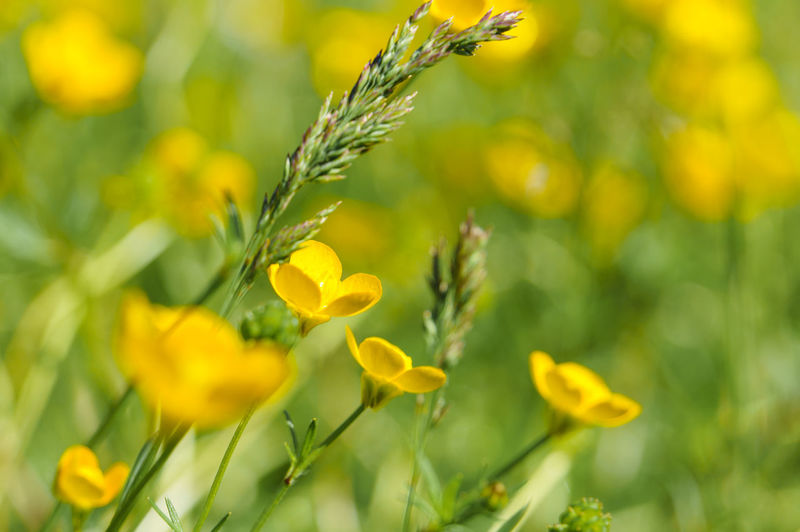 Close up of yellow flower blooming in field